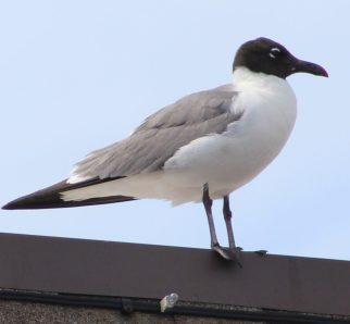 cropped-portrait-gull.jpg